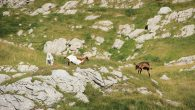 Sedlena greda i slobodno stado na vrelom planinskom suncu.